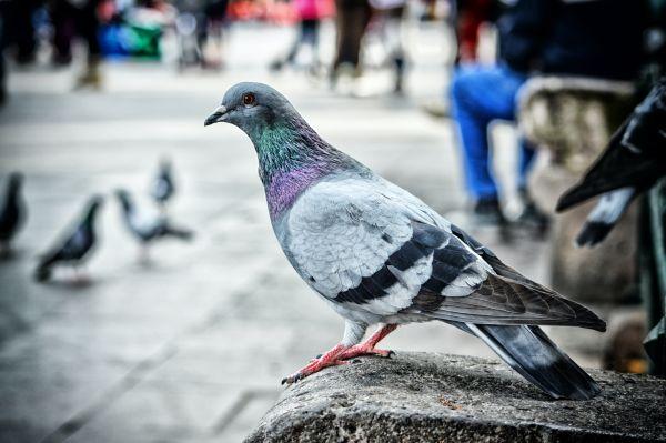 pigeon control mornington peninsula